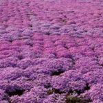 関東近郊の芝桜の名所ベスト3と関東の見頃、東京都内の芝桜の穴場スポット