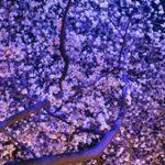 夜桜デートならではの持ち物や服装について@お弁当は必要?